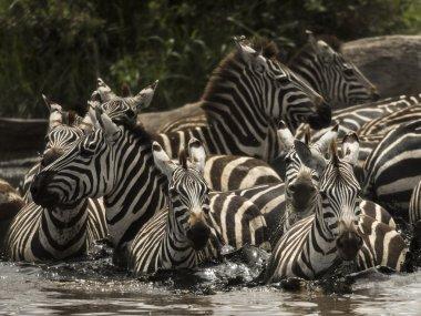Zebras walking in a river, Serengeti, Tanzania, Africa
