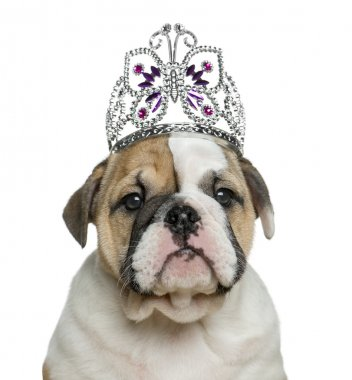 English bulldog puppy wearing a diadem in front of white backgro