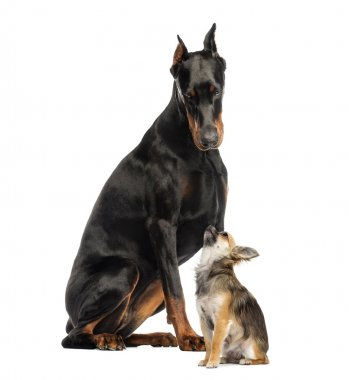 Doberman sitting and looking at a Chihuahua in front of a white background stock vector