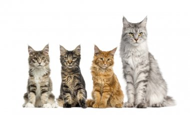 Group of Maine coon sitting in front of a white background