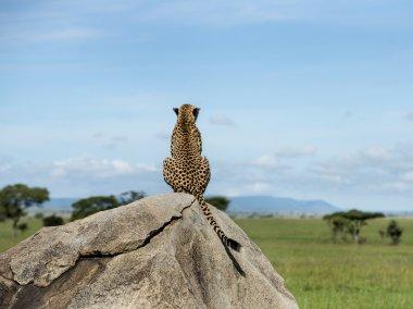 Cheetah sitting on a rock and looking away, Serengeti, Tanzania