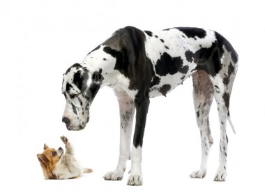 Great Dane looking at a Chihuahua in front of a white background