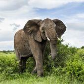 Fotografie Slon, chůze, Serengeti, Tanzanie