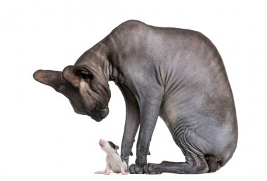 Sphynx looking at a mouse in front of a white background stock vector