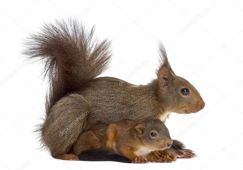 prudent mother squirrl Do squirrel carry rabies  it would be prudent to have it checked bill reply brenda turney  so they left them in the front yard for a little while to see if the mother would return, and she did not,.