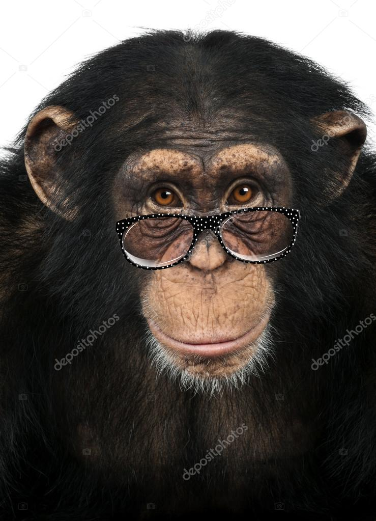 Close-up of a Chimpanzee looking at the camera, Pan troglodytes,