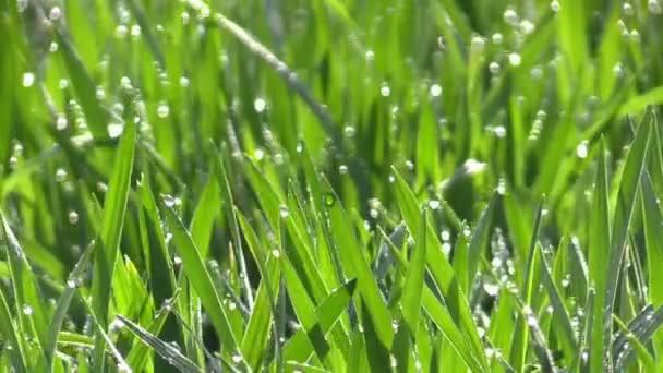 Kapky rosy na zelené trávě na slunci