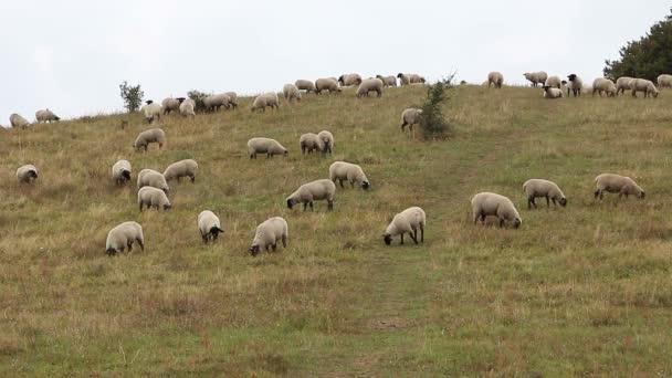 Schafe weiden auf der Weide