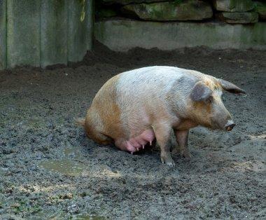 The pig on liquid dirty ground