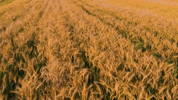 Top view of wheat field, cereal crop of healthy food, video shot at sunset, wheat at the stage of ripening, Ukrainian fields.
