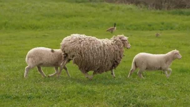 Weiße Schafe mit zwei Lämmern laufen auf dem grünen Gras auf der Weide