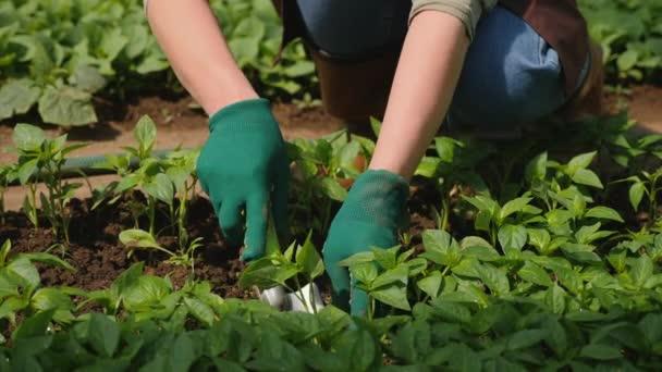 Farmář vykope sazenice pepře zahradní lopatou