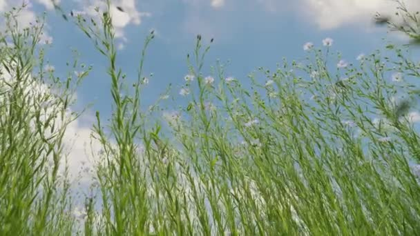 Bottom up view of green stems and blue flowers of flax in a field