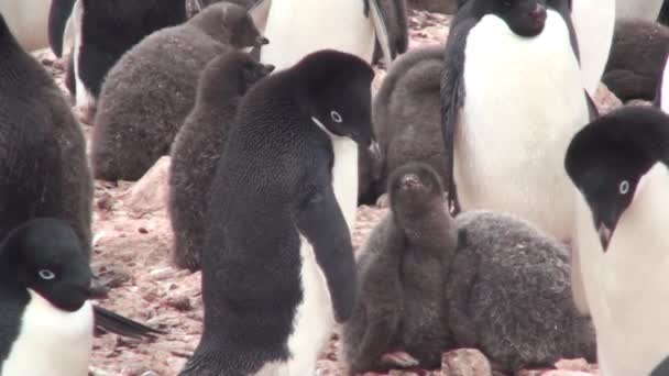 Penguins. A colony of penguins in Antarctica.