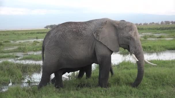 Kenya. Africa. Elephants in the meadow.