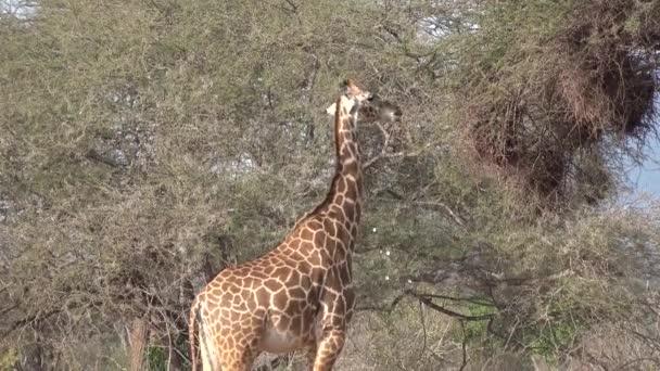 Giraffes. A family of giraffes walks on the savannah and eat tree leaves.