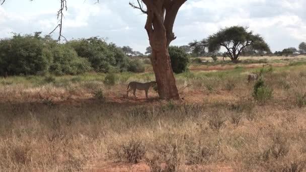 Gepárd. Az afrikai ragadozó vadászat után pihen.