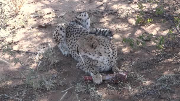 Gepard pojídající maso z kosti. Gepard po lovu. Savannah z Namibie.
