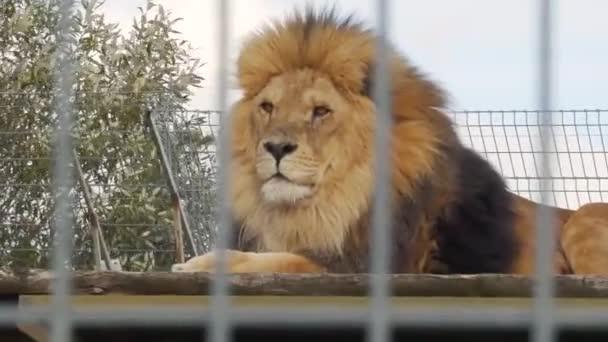 detail lva sedícího v kleci v zoo