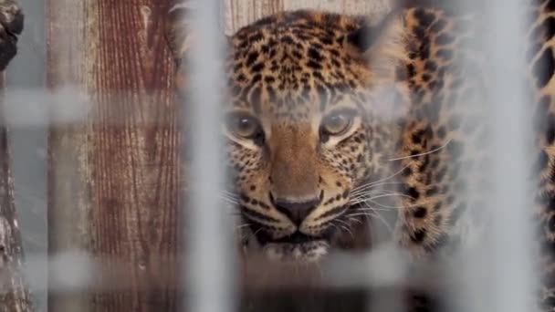 leopard sitting in a cage at the zoo