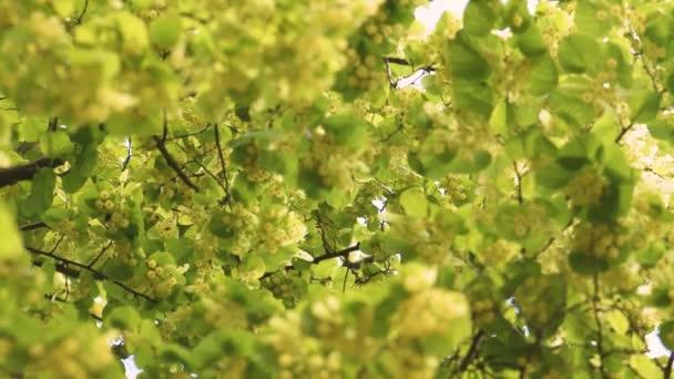 Viele Bienen nehmen an sonnigen Sommertagen Nektar aus Lindenblüten. Hintergrund ist im Kamerafokus und Vordergrund verschwommen