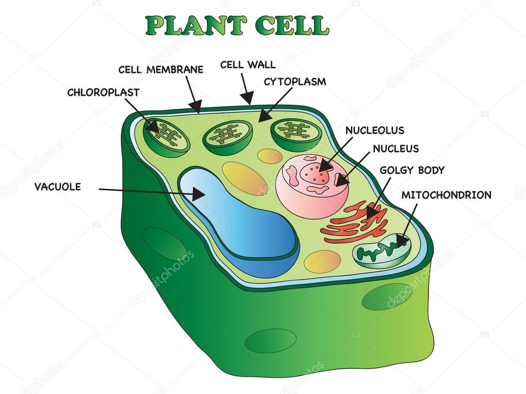 plant cell structure — Stock Photo © casaltamoiola #98155314