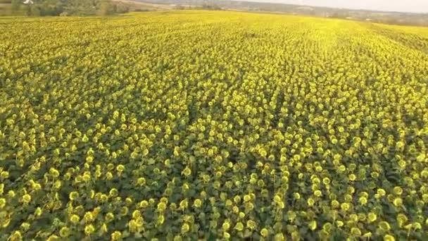 Pole s kvetoucí slunečnice. Letecký pohled. Nahoře. Z výše uvedeného. Video 4k