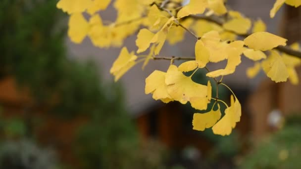 Close up of a yellow leafs of a Ginkgo Biloba tree, Maidenhair tree, Ginkgophyta during the autumn season. Fall season. Selective focus