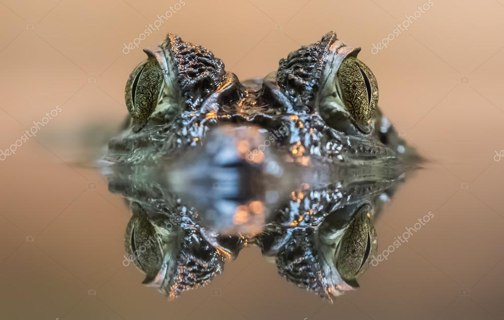 Frontal view of a Spectacled Caiman