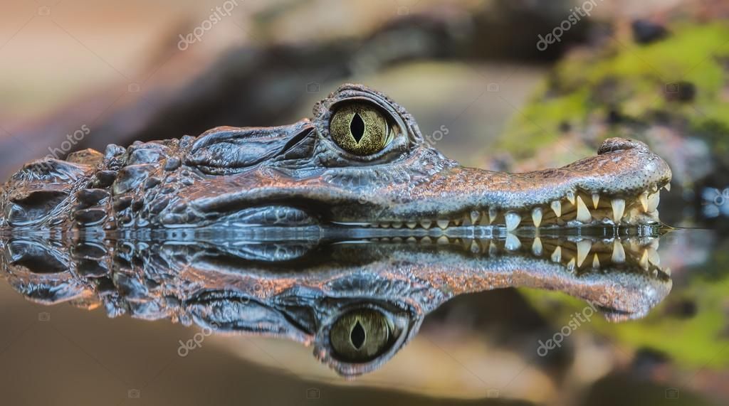 Close-up view of a Spectacled Caiman