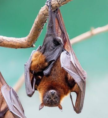 Close up of a female Indian flying fox with pup (Pteropus medius)