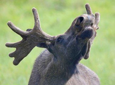 Portrait of a roaring Moose bull 02