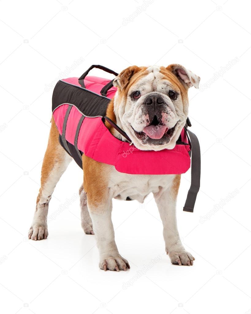 bulldog wearing pink life vest stock photo adogslifephoto 100029158