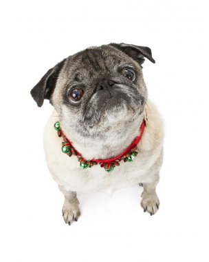 Pug Dog Wearing Christmas Bells