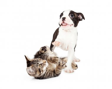 playful kitten and puppy