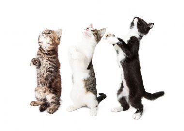 Kittens Standing and Begging