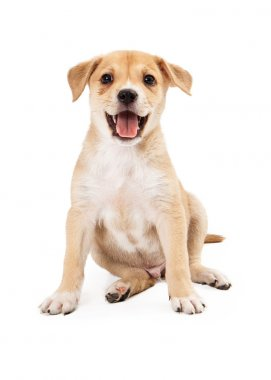 Happy Shepherd Lab Puppy