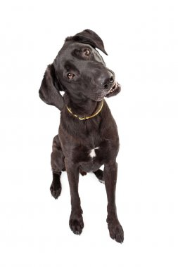 Labrador Retriever Tilting Head