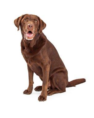 Chocolate Labrador Retriever Dog Drooling