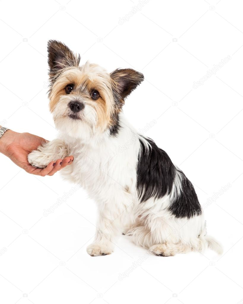 yorkie and shih tzu mix price yorkshire terrier and shih tzu mixed stock photo 8692