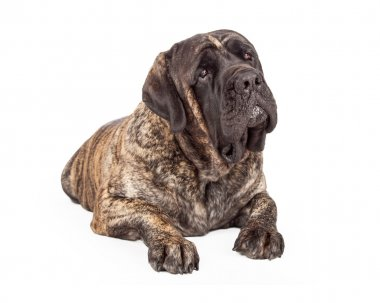 English Mastiff Dog Laying Head Tilted