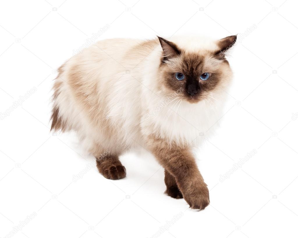 Przepiękny Kot Ragdoll Spaceru Zdjęcie Stockowe Adogslifephoto