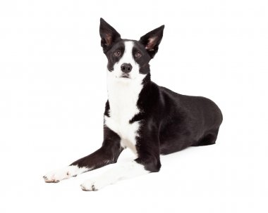 Alert Border Collie Mix Breed Dog Laying