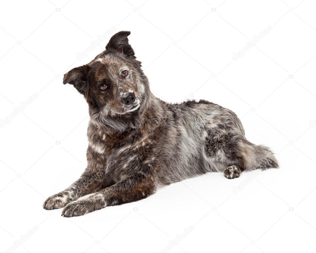 mix owczarek australijski pies rasy kur � zdjęcie stockowe