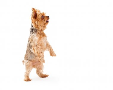 Adorable Yorkshire Terrier Puppy Dancing