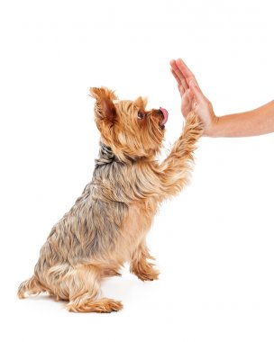 Friendly Yorkshire Terrier Puppy Extending Paw To Shake