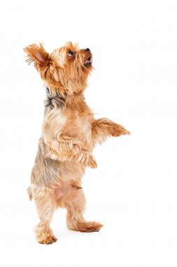 Talented Yorkshire Terrier Puppy Dancing