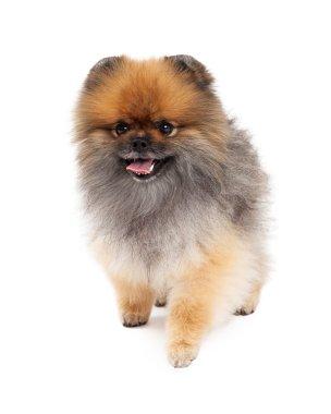 Happy Pomeranian Dog Walking