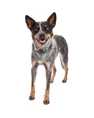 Smiling Australian Cattle Dog Standing