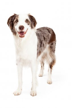Smiling Border Collie Dog Standing